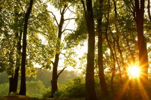 sun-through-trees-mc