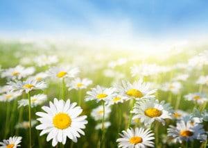 daisies-mc