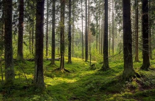 dark forrest_trees